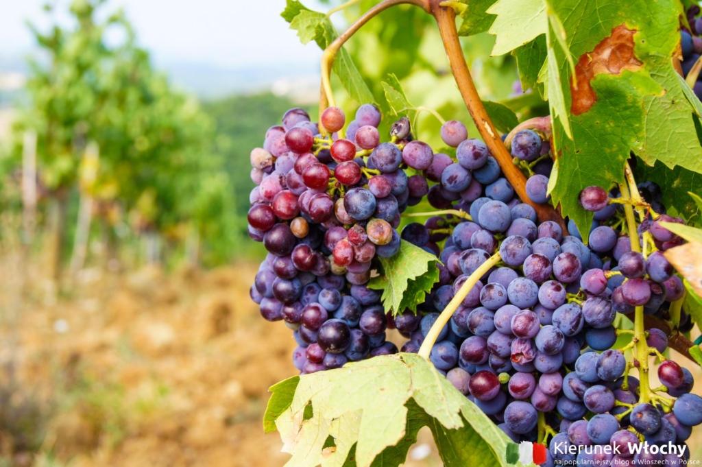 uprawy winorośli wokół Castelliny (fot. Ł. Ropczyński, kierunekwlochy.pl)