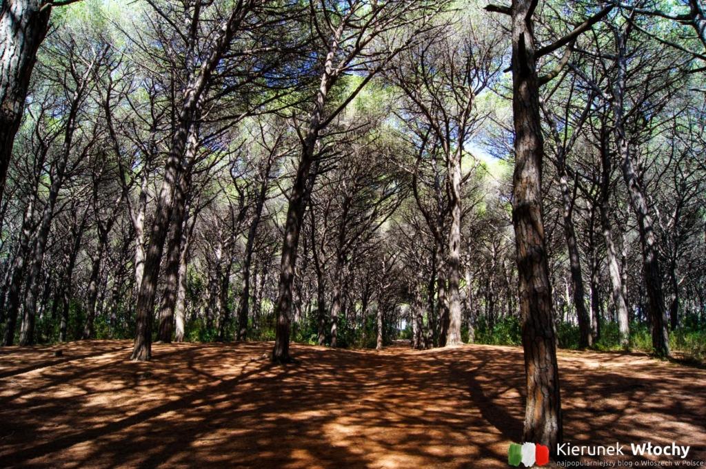 piniowy las przez który codziennie przechodziliśmy do plaży (fot. Łukasz Ropczyński, kierunekwlochy.pl)