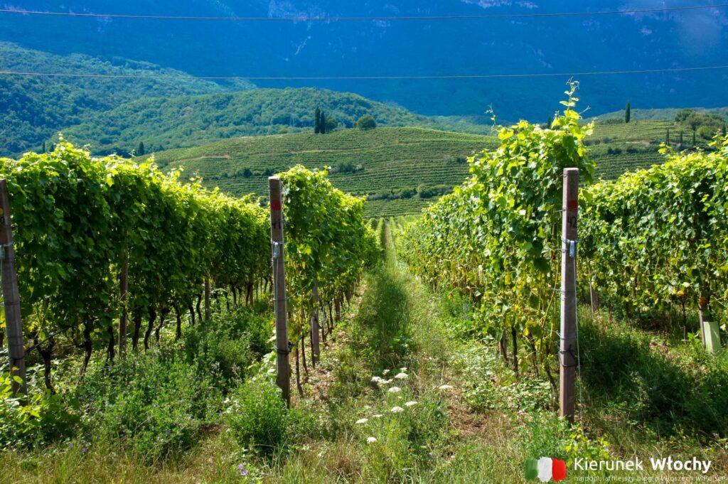 Szlak win Caldaro (Weinweg Kaltern), Południowy Tyrol, Włochy (fot. Łukasz Ropczyński, kierunekwlochy.pl)