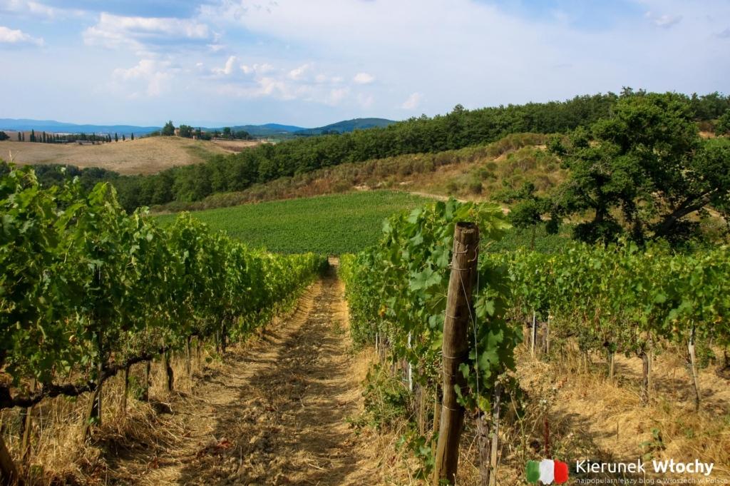 uprawy winorośli, które są tu dosłownie wszędzie, Toskania, Włochy (fot. Ł. Ropczyński, kierunekwlochy.pl)