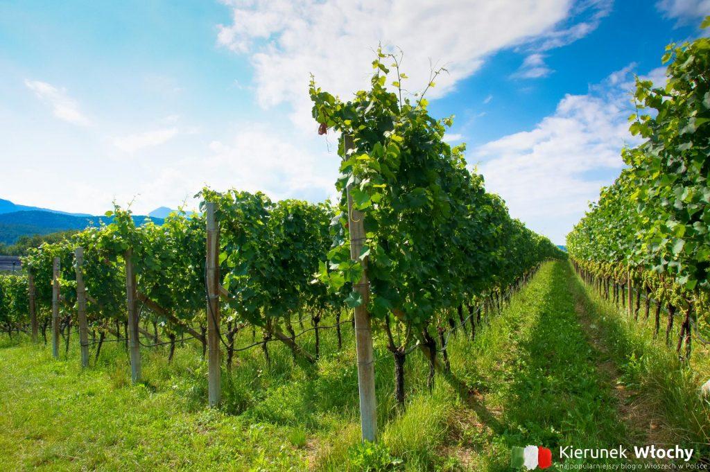 w trakcie spaceru Szlakiem Wina Caldaro w pobliżu Lago di Caldaro na południe od Bolzano, Południowy Tyrol, Włochy (fot. Łukasz Ropczyński, kierunekwlochy.pl)