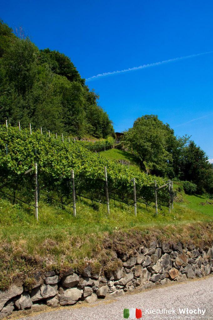 uprawy winorośli przy drodze prowadzącej do Wodospadu Partschinser, Południowy Tyrol (fot. Łukasz Ropczyński, kierunekwlochy.pl)